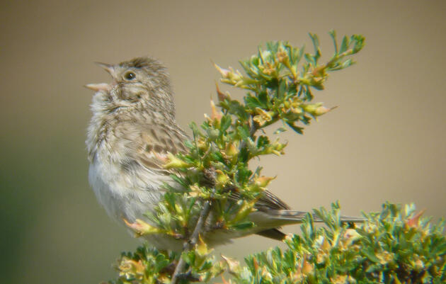 Birders can try apps, tweet, and get social with Sagebrush bird count