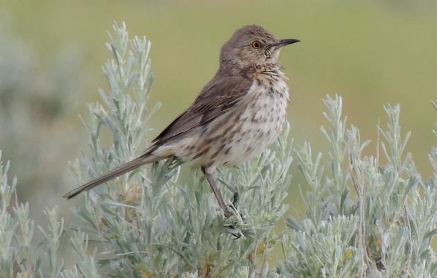 Songbird Survey in Eastern Washington