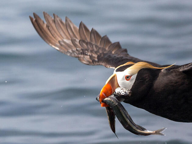 Audubon Applauds Bipartisan Legislation to Protect Seabirds' Favorite Food