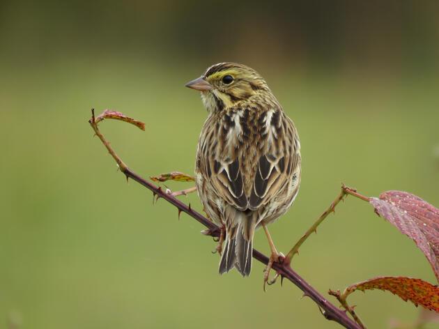 Birding by Ear