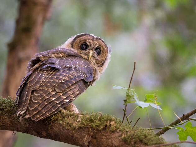 Outgoing Administration Moves to Decimate Northern Spotted Owl Critical Habitat