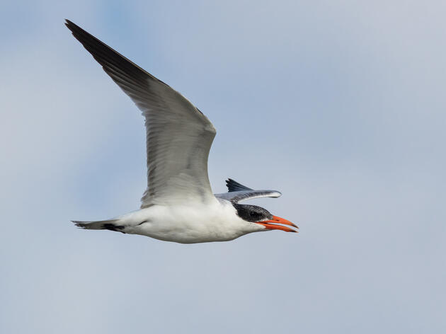 Mortality Event at West Seattle Caspian Tern Colony
