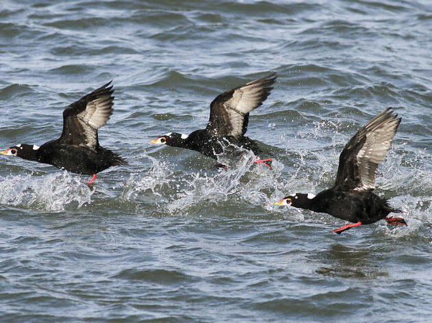 The historic Northwest heat wave that killed shellfish could spell trouble for marine birds