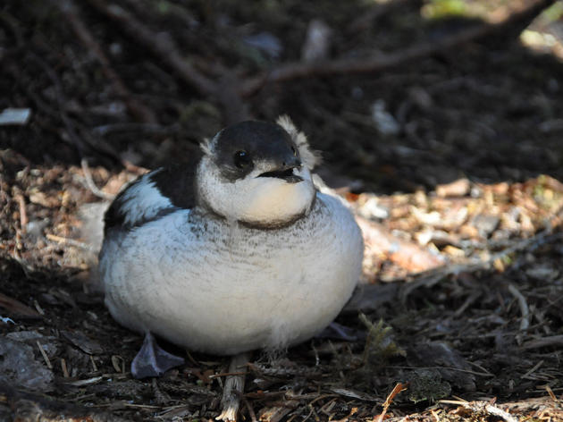 Ending the Murrelet Malaise