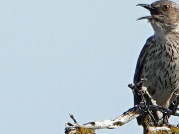 Sagebrush Songbird Conservation
