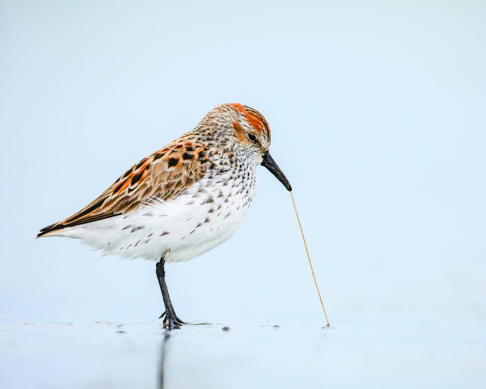 Western Sandpiper pulling a worm out of the sand