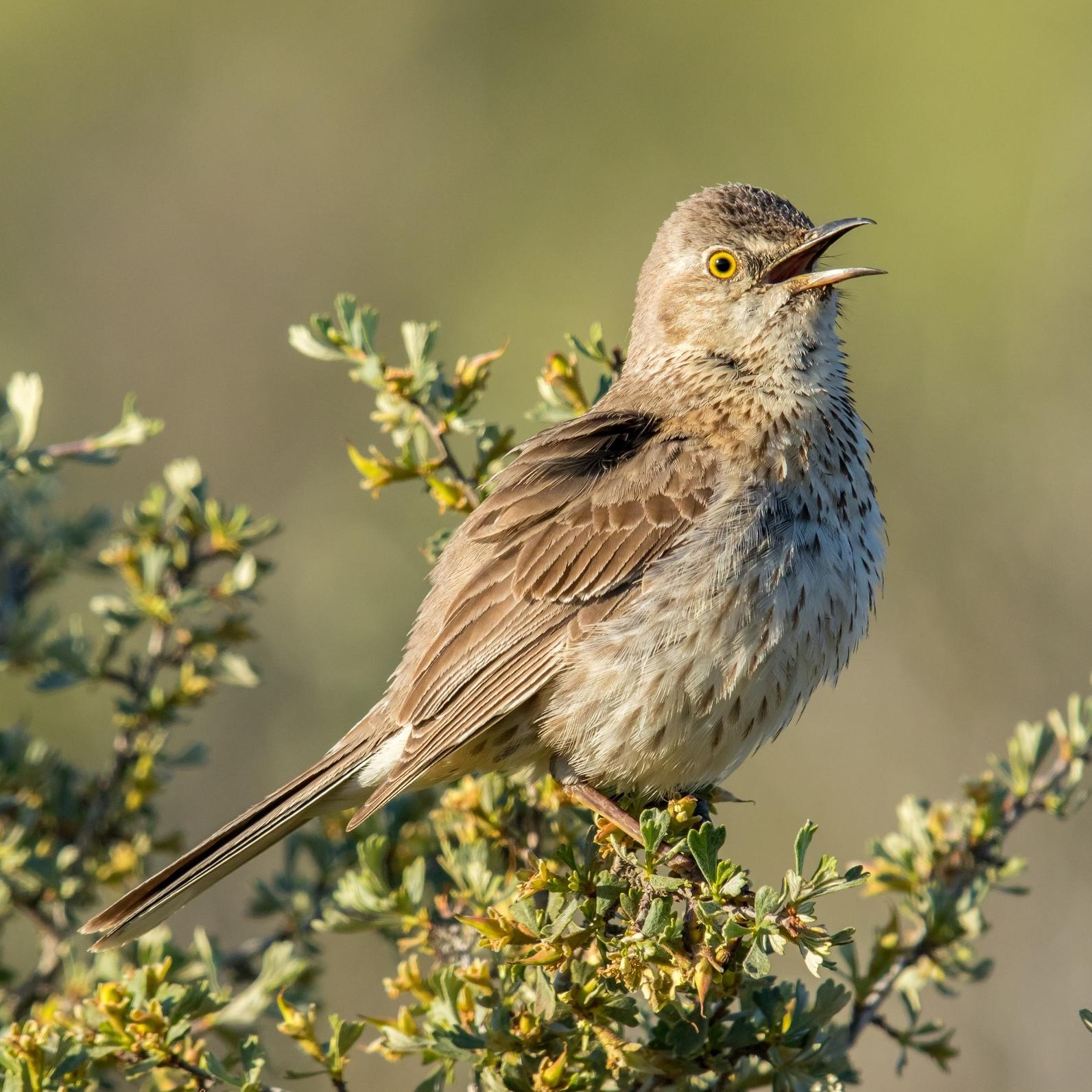 Sage Thrasher by Mick Thompson