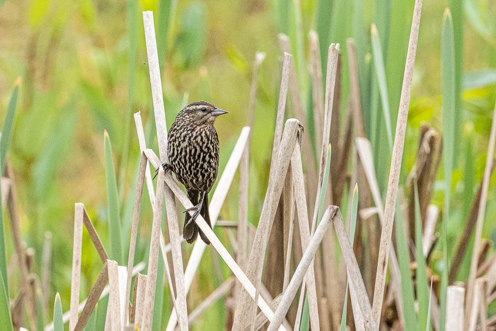 Female Red-winged Blackbird perched in reeds